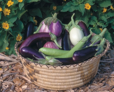 How To Grow Eggplants From Seeds