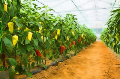 Greenhouse pepper cultivation