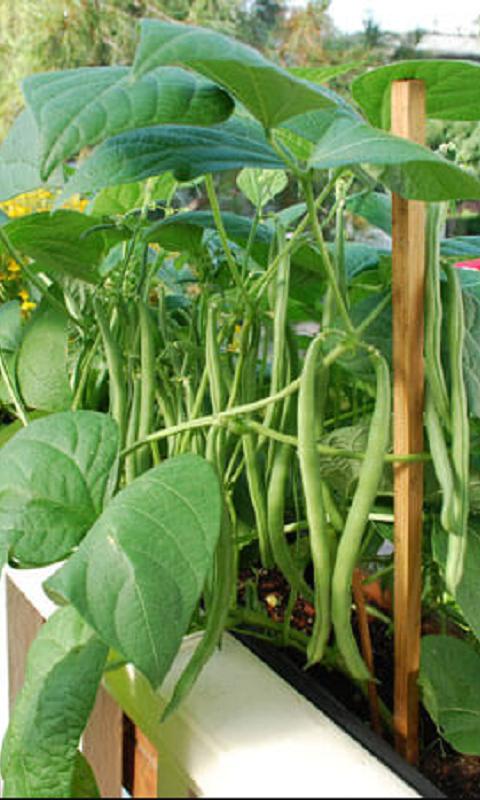 کاشت لوبیا سبز در گلدان