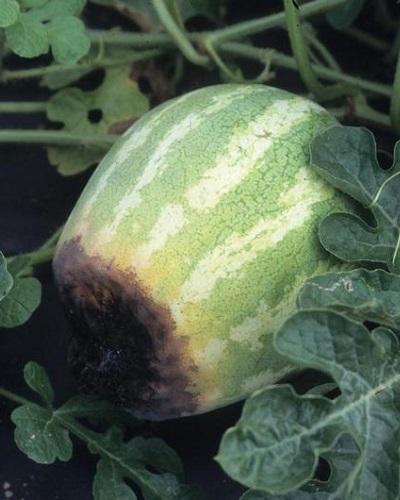 پوسیدگی گلگاه هندوانه