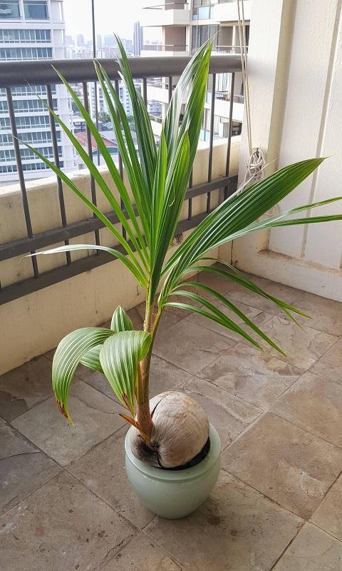 کاشت درخت نارگیل
