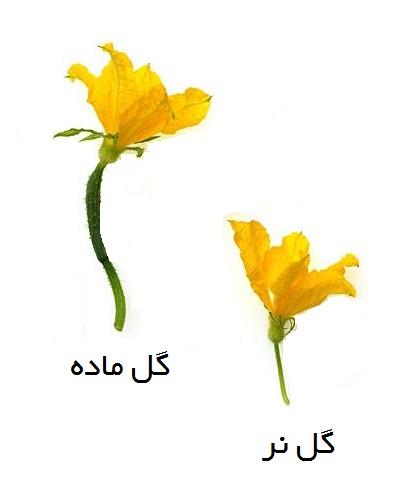 گل نر و ماده خیار