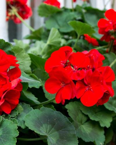 مراقبت از گل شمعدانی