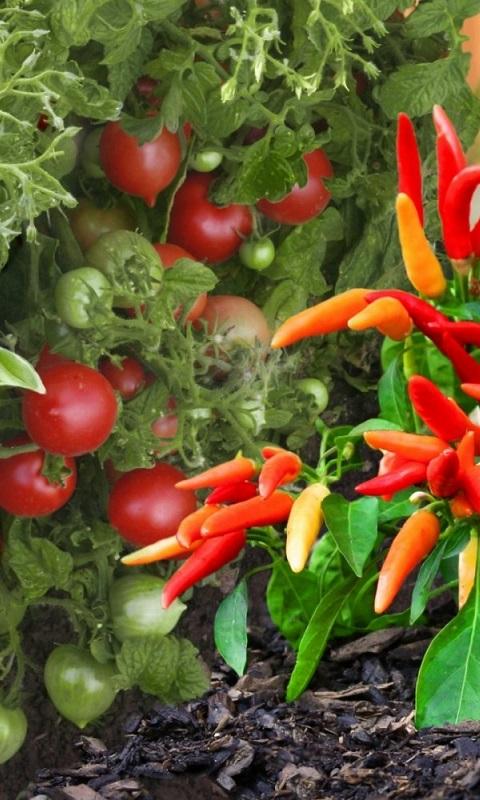 کاشت گوجه فرنگی و فلفل