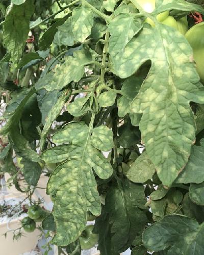 بیماری و آفات گوجه فرنگی