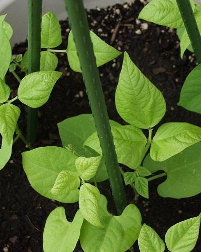 نحوه کاشت لوبیا سبز در گلدان