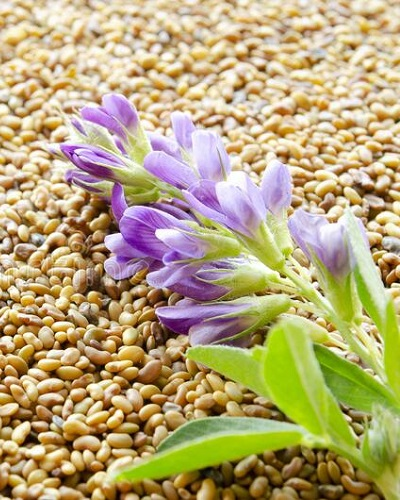 تولید بذر یونجه