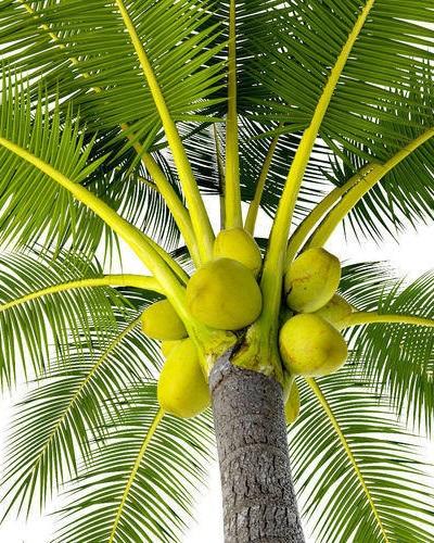 درخت نارگیل