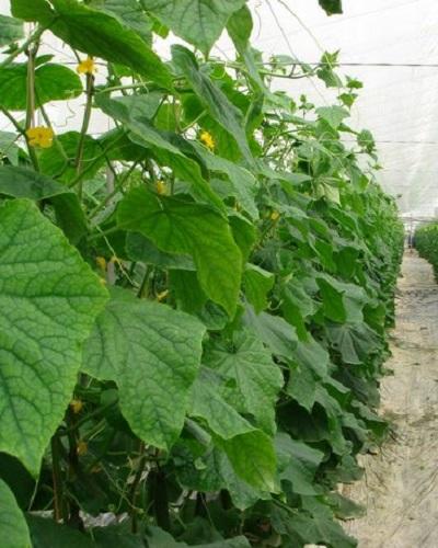 رطوبت مورد نیار خیار در گلخانه