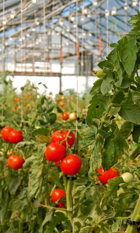 کاشت گوجه فرنگی در گلخانه