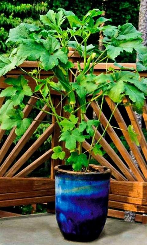 کاشت بامیه در گلدان