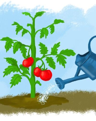 آبیاری گیاه گوجه فرنگی