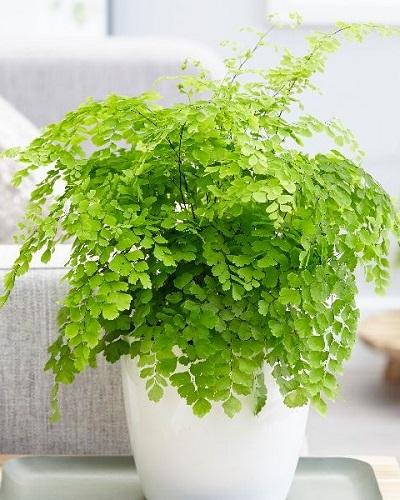 گیاه پر سیاوش