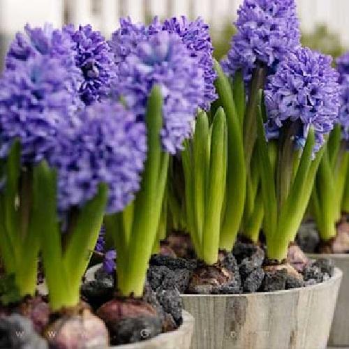 گل سنبل آبی
