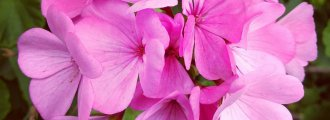 بذر گل شمعدانی صورتی
