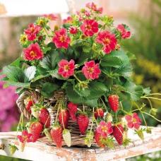 بذر توت فرنگی تارپان (F1)