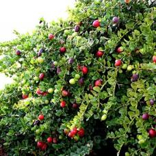 بذر آلو درختی ناتال