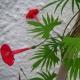 بذر گل کاردینال رونده