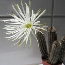 بذر کاکتوس setiechinopsis mirabilis