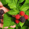 بذر میوه رازبری سیاه