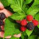 بذر میوه راسپ بری سیاه