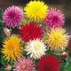 بذر گل کوکب کاکتوسی رنگ مخلوط