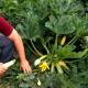 بذر کدو سبز Ardendo 174 F1