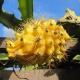 بذر میوه اژدها زرد خاردار