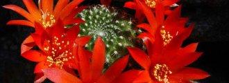 بذر ربوتیا مینوسکولا