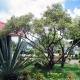 بذر درخت حنا