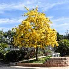 بذر درخت شیپوری طلایی