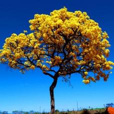 بذر درخت شیپور کارائیب