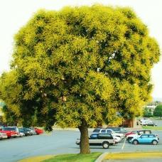 بذر درختچه باران طلایی