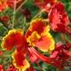 بذر درختچه گل ابریشم مصری قرمز