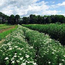 بذر بومادران سفید