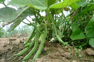 کاشت لوبیا سبز