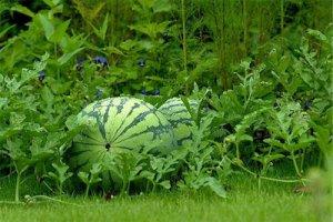 آموزش کاشت هندوانه در خانه و مزرعه