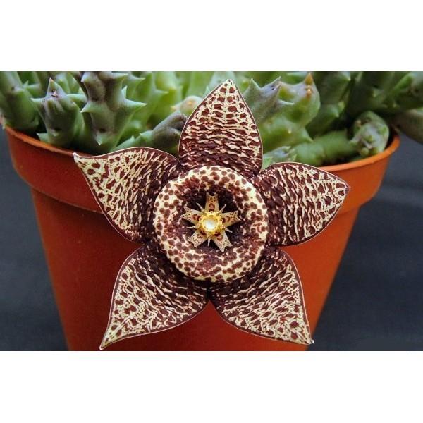بذر کاکتوس ستاره ای