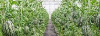 کاشت هندوانه در گلخانه