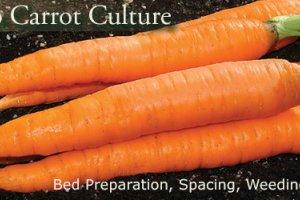4 نکته کلیدی در کاشت و پرورش هویج