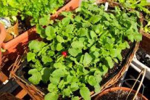 کاشت تربچه در گلدان
