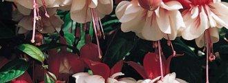 انواع گل آویز و کاشت آن ها