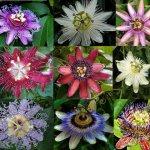 طریقه کاشت هندوانه انواع گل ساعت و  طریقه کاشت آن ها