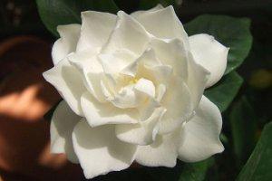 کاشت گل گاردنیا