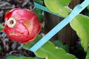 چگونگی گل دهی و میوه دهی میوه اژدها