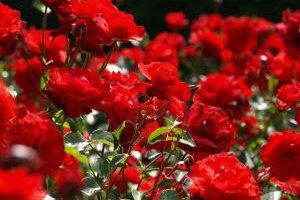 کاشت گل رز با بذر