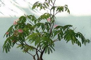 پرورش درخت بونسای گل ابریشم