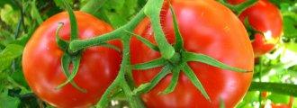 پرورش گوجه فرنگی