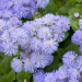 چگونگی کاشت گل ابری(Ageratum)
