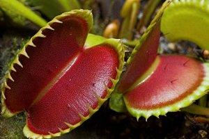 کاشت و پرورش ونوس حشره خوار با پیاز و بذر (Venus Flytrap)